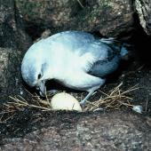 Fairy prion. Adult incubating egg in nest. North Promontory, Snares Islands, December 1985. Image © Alan Tennyson by Alan Tennyson