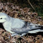 Fairy prion. Adult on ground. Antipodes Island, November 1995. Image © Alan Tennyson by Alan Tennyson
