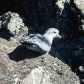Fulmar prion. Adult. Toru Islet, Western Chain, Snares Islands, February 1984. Image © Colin Miskelly by Colin Miskelly