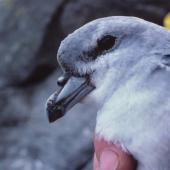 Fulmar prion. Close view of adult 'pyramidalis' subspecies. The Pyramid, Chatham Islands, December 1987. Image © Alan Tennyson by Alan Tennyson