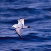 Fulmar prion. Adult in flight (crassirostris subspecies?). At sea 48 41'S 175 29'E, October 1995. Image © Alan Tennyson by Alan Tennyson