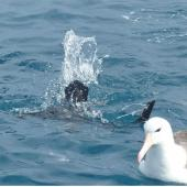 White-chinned petrel. Adult diving beside black-browed mollymawk. Cook Strait, April 2016. Image © Alan Tennyson by Alan Tennyson