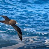 White-chinned petrel. Adult in flight, ventral view. Southern Ocean, February 2018. Image © Mark Lethlean by Mark Lethlean
