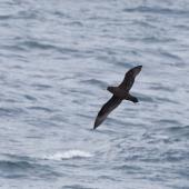 White-chinned petrel. Ventral view of adult in flight. Southern Ocean south of Hobart, Tasmania, Australia, November 2011. Image © Sonja Ross by Sonja Ross