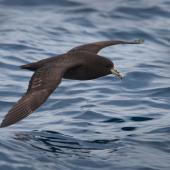 White-chinned petrel. Adult in flight at sea. At sea off Otago Peninsula, March 2011. Image © Craig McKenzie by Craig McKenzie