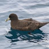 White-chinned petrel. Adult on water. Off Kaikoura, March 2010. Image © Peter Frost by Peter Frost