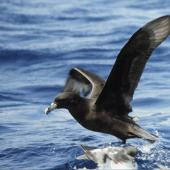 White-chinned petrel. Adult on water showing underwing. Off Snares Islands, February 1983. Image © Colin Miskelly by Colin Miskelly