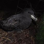 Westland petrel. Adult at breeding colony at night. Punakaiki, July 2015. Image © Colin Miskelly by Colin Miskelly