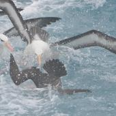 Westland petrel. Plunging for fish ahead of adult black-browed mollymawks. Cook Strait, Near Wellington, August 2014. Image © Kyle Morrison by Kyle Morrison