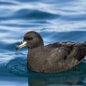 Westland petrel. Adult on water. Kaikoura pelagic, April 2018. Image © Oscar Thomas by Oscar Thomas