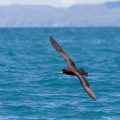 Westland petrel. Adult in flight. Kaikoura pelagic, November 2011. Image © Sonja Ross by Sonja Ross