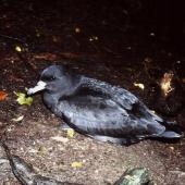 Westland petrel. Adult on breeding colony at night. Punakaiki, July 1991. Image © Colin Miskelly by Colin Miskelly