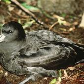 Westland petrel. Adult on ground. Punakaiki, Westland. Image © Department of Conservation (image ref: 100) by Craig Robertson, Department of Conservation Courtesy of Department of Conservation