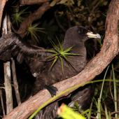 Black petrel. Adult climbing tree to take off from breeding colony. Great Barrier Island, February 2010. Image © Mark Fraser by Mark Fraser