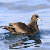 Black petrel. Adult on water. Cook Strait, April 2017. Image © Phil Battley by Phil Battley