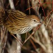 Fernbird. North Island fernbird. Rangitaiki Conservation Area, Bay of Plenty, May 2006. Image © Neil Fitzgerald by Neil Fitzgerald www.neilfitzgeraldphoto.co.nz