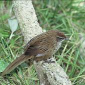 Fernbird. Adult Snares Island fernbird. Snares Islands, December 1986. Image © Colin Miskelly by Colin Miskelly