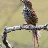 Fernbird. Adult North Island fernbird. Ngunguru wetland, January 2021. Image © Scott Brooks (ourspot) by Scott Brooks
