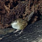 Fernbird. Adult Stewart Island fernbird. Big Island, Stewart Island. Image © Department of Conservation (image ref: 10042632) by Rod Morris, Department of Conservation Courtesy of Department of Conservation