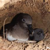 Tahiti petrel. Adult and chick in burrow. Raiatea, French Polynesia, December 2013. Image © Lucie Faulquier by Lucie Faulquier
