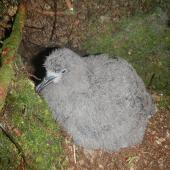 Tahiti petrel. Large downy chick. Raiatea, French Polynesia, February 2012. Image © Lucie Faulquier by Lucie Faulquier