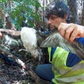 Tahiti petrel. Headless adult killed by predator. New Caledonia, April 2016. Image © Raphaël Gouyet by Raphaël Gouyet