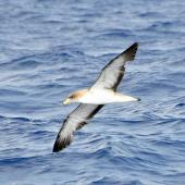 Cory's shearwater. Adult in flight (possibly the similar Scopoli's shearwater). Cape Hatteras, North Carolina, August 2012. Image © Don Faulkner by Don Faulkner via Flickr, 2.0 Generic (CC BY 2.0)