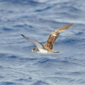 Cory's shearwater. Adult in flight (possibly the similar Scopoli's shearwater). Cape Hatteras, North Carolina, August 2012. Image © Don Faulkner by Don Faulkner via Flickr, 2.0 Generic (CC BY-SA 2.0)