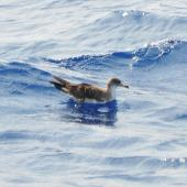 Cory's shearwater. Adult on water (this is possibly the similar Scopoli's shearwater). Cape Hatteras, North Carolina, August 2012. Image © Don Faulkner by Don Faulkner via Flickr, 2.0 Generic (CC BY-SA 2.0)