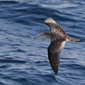 Streaked shearwater. Adult in flight. Off Miyake-jima, Izu Group, Japan, April 2019. Image © Ian Wilson 2019 birdlifephotography.org.au by Ian Wilson
