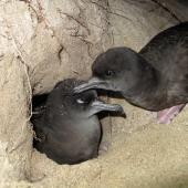 Wedge-tailed shearwater. Pair at burrow entrance. Lord Howe Island, September 2015. Image © Dean Portelli by Dean Portelli
