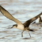 Buller's shearwater. Adult taking off from water. Poor Knights Islands, March 2014. Image © Malcolm Pullman by Malcolm Pullman aqualine@igrin.co.nz