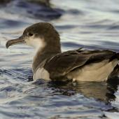 Buller's shearwater. Adult on water. Poor Knights, March 2014. Image © Malcolm Pullman  by Malcolm Pullman  aqualine@igrin.co.nz