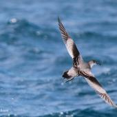 Buller's shearwater. Rear dorsal view of adult in flight. At sea off Whangaroa Harbour, Northland, November 2011. Image © Jenny Atkins by Jenny Atkins www.jennifer-m-pics.ifp3.com