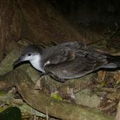 Buller's shearwater. Adult at breeding colony. Aorangi Island, Poor Knights Islands, February 2013. Image © Colin Miskelly by Colin Miskelly