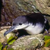 Buller's shearwater. Adult at burrow entrance. Poor Knights Islands, October 1977. Image © Albert Aanensen by Albert Aanensen