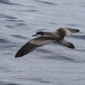 Buller's shearwater. Adult in flight showing tail. At sea off Whangaroa Harbour, Northland, January 2011. Image © Jenny Atkins by Jenny Atkins Jenny Atkinswww.jennifer-m-pics.ifp3.com