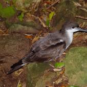 Buller's shearwater. Adult on surface. Aorangi Island, December 2011. Image © Graeme Taylor by Graeme Taylor