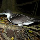 Buller's shearwater. Adult. Aorangi Island, Poor Knights Islands, December 2011. Image © Alan Tennyson by Alan Tennyson