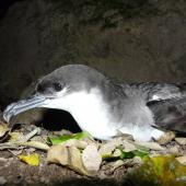 Buller's shearwater. Adult. Aorangi Island, Poor Knights Islands, December 2011. Image © Alan Tennyson by Alan Tennyson Alan Tennyson