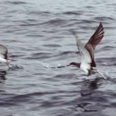 Buller's shearwater. Adults taking off at sea. Hauraki Gulf, May 1981. Image © Colin Miskelly by Colin Miskelly