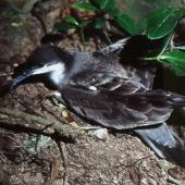 Buller's shearwater. Adult on breeding colony. Aorangi Island, Poor Knights Islands, May 1983. Image © Colin Miskelly by Colin Miskelly