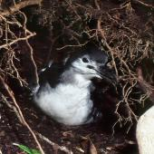 Buller's shearwater. Large chick at burrow entrance. Aorangi Island, Poor Knights Islands, May 1983. Image © Colin Miskelly by Colin Miskelly