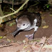 Buller's shearwater. Adult showing webbing. Rangatira Island, Chatham Islands, February 2007. Image © Colin Miskelly by Colin Miskelly