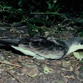 Buller's shearwater. Adult at breeding colony. Aorangi Island, Poor Knights Islands, March 1985. Image © Department of Conservation (image ref: 10033296) by Rod Morris Courtesy of Department of Conservation