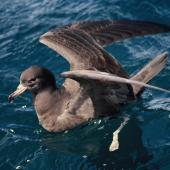 Flesh-footed shearwater. Adult on water with raised wings. Near the Aldermen Islands, November 1994. Image © Alan Tennyson by Alan Tennyson