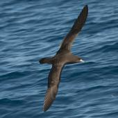 Flesh-footed shearwater. Dorsal view of adult in flight. Off Whitianga, March 2012. Image © Philip Griffin by Philip Griffin