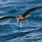 Flesh-footed shearwater. Adult about to land on water. Hauraki Gulf, April 2009. Image © Martin Sanders by Martin Sanders  http://martinsanders.smugmug.com/
