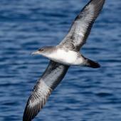 Pink-footed shearwater. Adult in flight, ventral. Off Half Moon Bay, California, September 2009. Image © Alvaro Jaramillo by Alvaro Jaramillo Courtesy of www.alvarosadventures.com