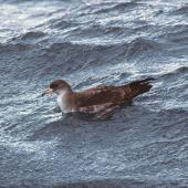Pink-footed shearwater. Adult on water. Off Kaikoura, December 2001. Image © Alan Tennyson by Alan Tennyson